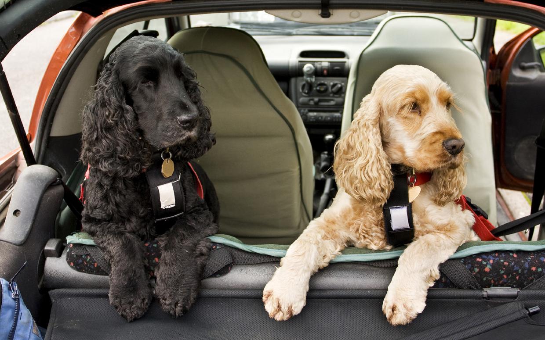 Cocker Spaniel dogs