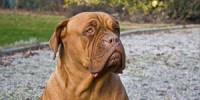 09_dogue_de_bordeaux_portrait